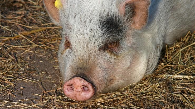 Świnie zjadły swojego właściciela. Zostało kilka kości