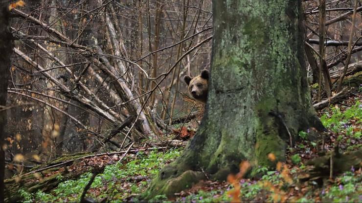 Niedźwiedź zaobserwowany w Nadleśnictwie Baligród