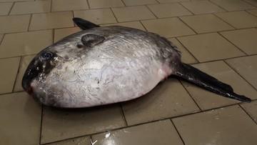 Egzotyczna ryba znaleziona w Bałtyku. Jej wnętrzności są trujące