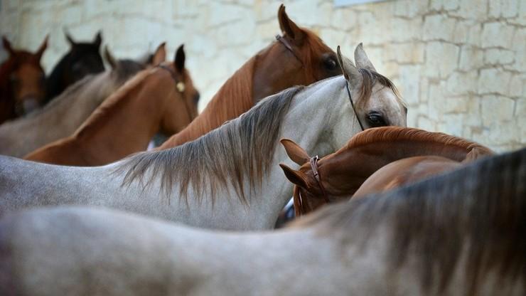 Mięso chorych koni sprzedawano jako wołowinę. Proceder trwał kilka lat