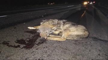 Młodego wilka potrącił samochód. Weterynarz uratował mu życie