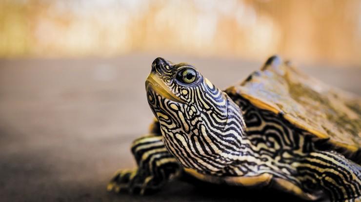 Poszli do szamana po krew żółwia na koronawirusa. Stracili dziecko, drugie walczy o życie