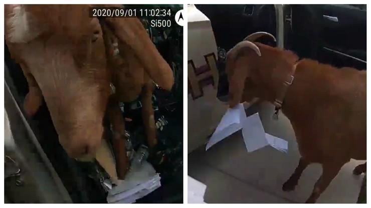 """""""Pana dokumenty zjadła koza"""". Zwierzę wykorzystało nieuwagę policjantki [WIDEO]"""