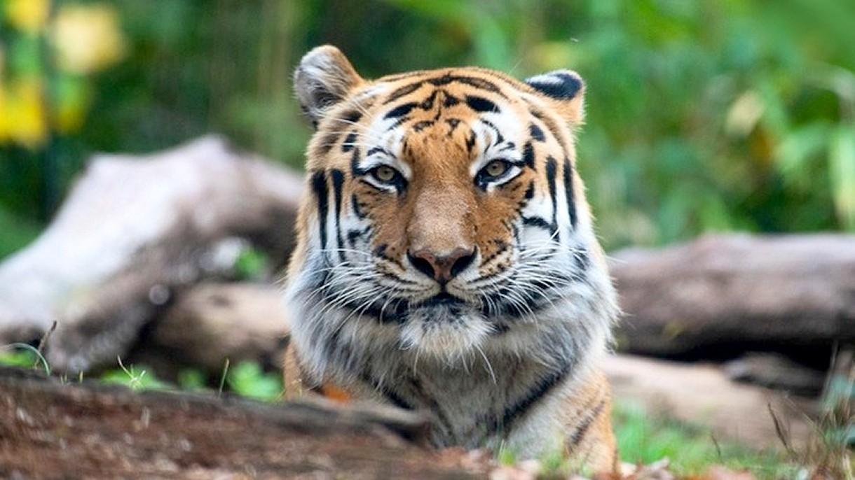 Tygrysica zainfekowana koronawirusem w zoo. Zaraziła się od swojego opiekuna