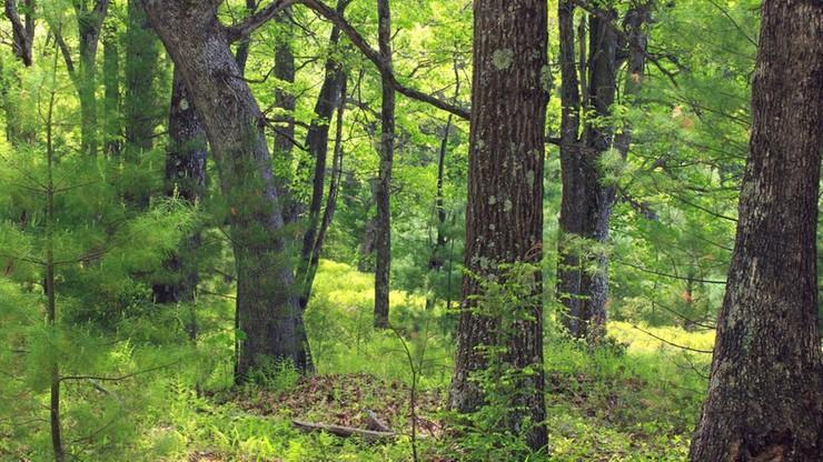 Tragiczny wypadek w lesie. Drzewo spadło na mężczyznę