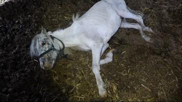 Trzymane w ciemnościach i na łańcuchach. 17 zagłodzonych koni