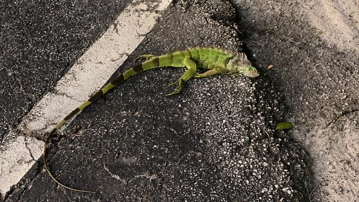 Iguany masowo spadały z drzew na Florydzie [ZDJĘCIA]