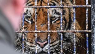Mafia zarabia na handlu dzikimi zwierzętami! Tygrysy to tylko początek?  Wywiad z Dawidem Fabjańskim [WIDEO]