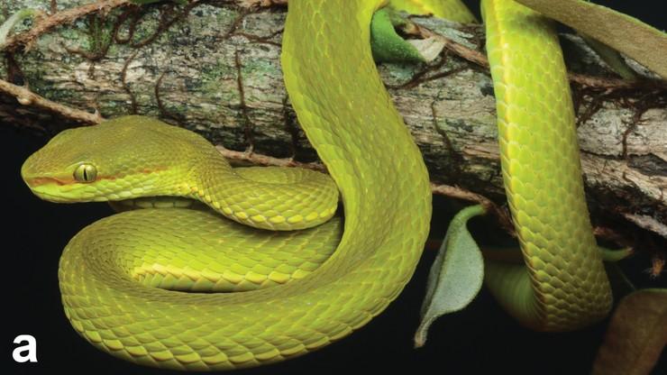 """Nowy gatunek węża. Żmija nazwana imieniem czarodzieja z """"Harry'ego Pottera"""""""