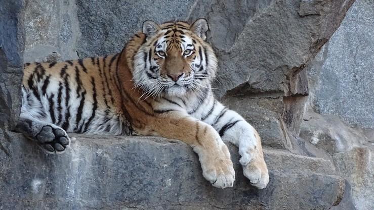 Tygrys syberyjski zabił pracownicę zoo na oczach zwiedzających