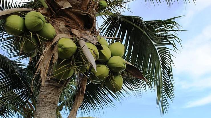 Studenci uczelni na Bali mogą opłacać czesne kokosami